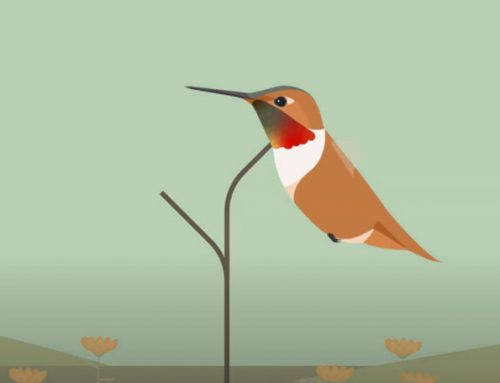Meet the Rufous Hummingbird